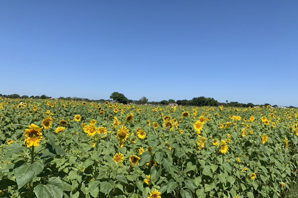 Field of Sunflowers image